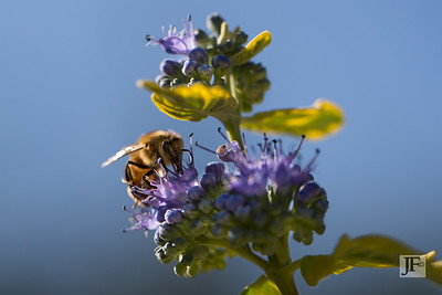 Honeybee, Suffolk