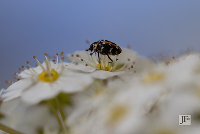 White spotted Rose Beetle, Gers