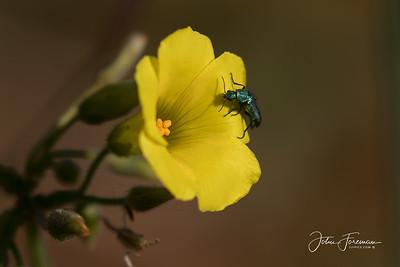 Soft-winged Flower Beetle, Rio Guadalhorce