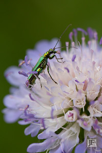Thick-thighed Flower Beetle, Suffolk