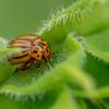 Colorado Potato Beetle II