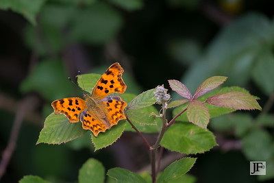 Comma, Gers
