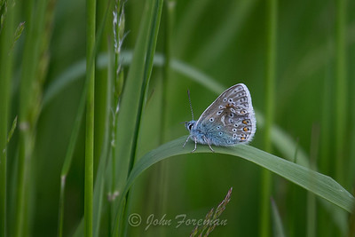 Common Blue, Suffolk