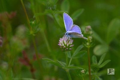 Common Blue, Gers