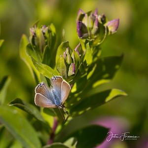 Long-tailed Blue, Cala de Mijas