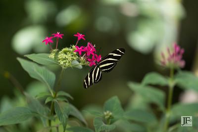 Zebra Longwing, Benalmádena (captive)