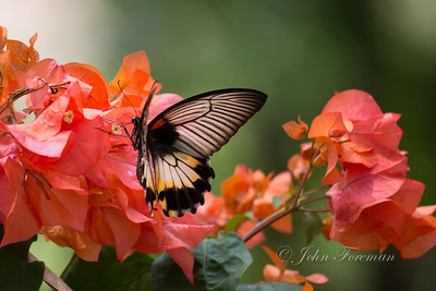 Great Yellow Mormon Butterfly, Borabudur