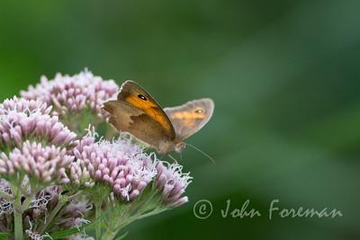 Meadow Brown, Suffolk