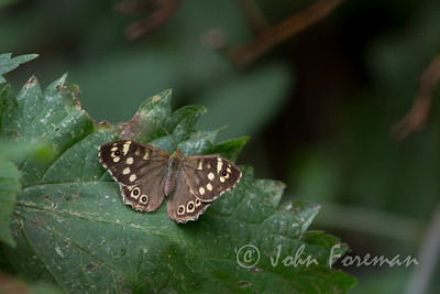 Speckled Wood, Suffolk