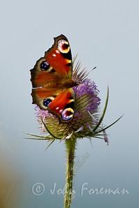 Peacock, Lincolnshire