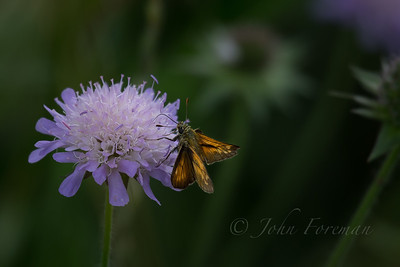 Large Skipper, Suffolk