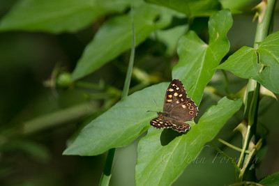 Speckled Wood, Suffolk