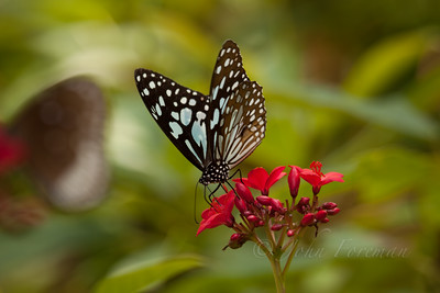 Glassy Blue Tiger, Kumaracom