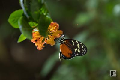 Cream-spotted Tigerwing, Benalmádena (captive)