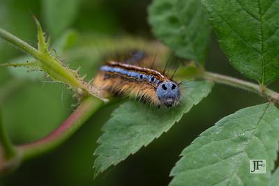 Lackey moth caterpillar, Gers