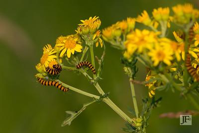 Cinnabar Moth, Dorset