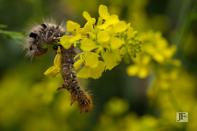 Oak Eggar moth caterpillar, Gers