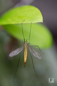 Tiger Cranefly, Suffolk