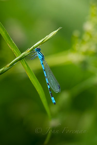 Common Blue Damselfly, Suffolk