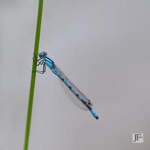 Common Blue damselfly, Gers