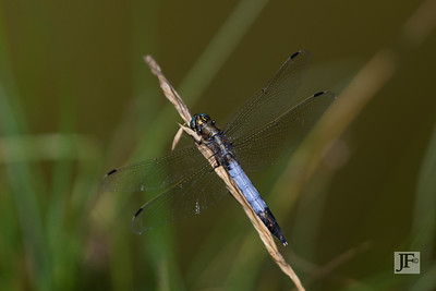 White-tailed Skimmer, Gers