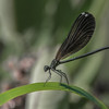 Ebony Jewelwing II