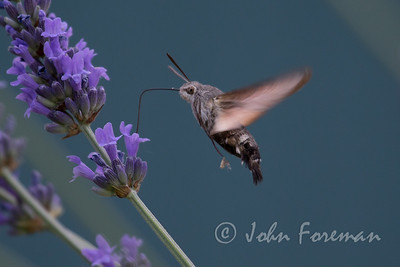 Hummingbird Hawk Moth, Provence