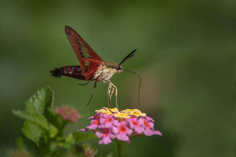 Slender Clearwing Moth II