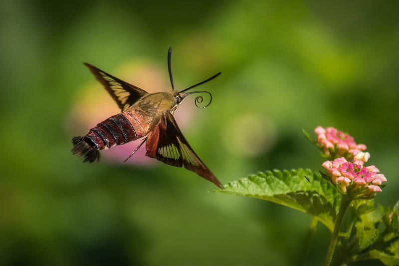 Snowberry Clearwing Moth II