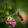 Snowberry Clearwing Moth IV