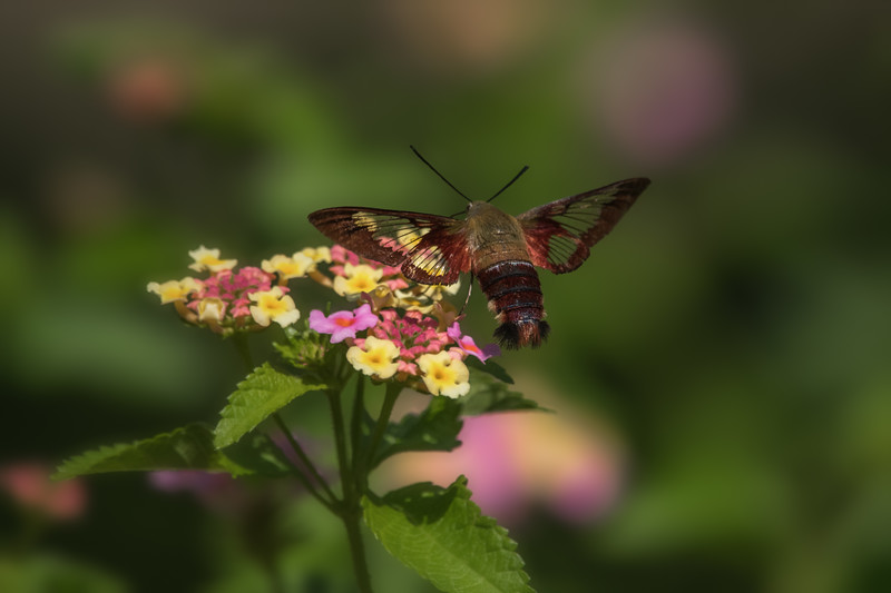 Snowberry Clearwing Moth III