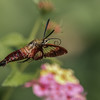 Snowberry Clearwing Moth I