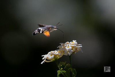 Hummingbird Hawk moth, Majorca