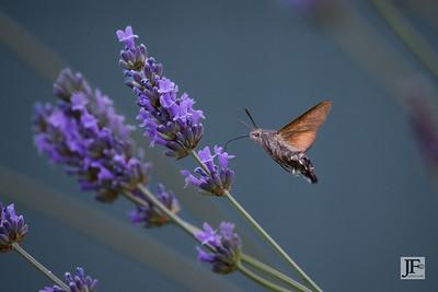 Hummingbird Hawk Moth, Provence