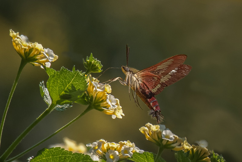 Slender Clearwing Moth