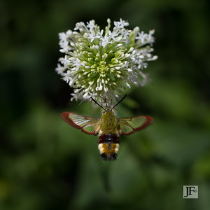 Clearwing Hummingbird Moth, Gers