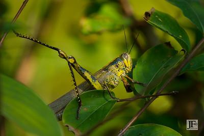 Locust, Singapore