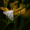 Dogbane Tiger Moth