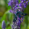 Polka Dot Wasp Moth