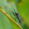 Longhorn Beetle II