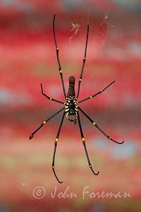 Giant wood spider, Pulau Ubin