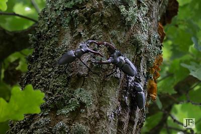 Stag Beetles, Gers