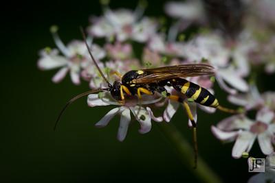 Potter Wasp. Suffolk