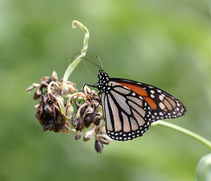 Milkweed and Monarch Butterfly
