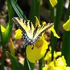Tiger Swallowtail and Irisis