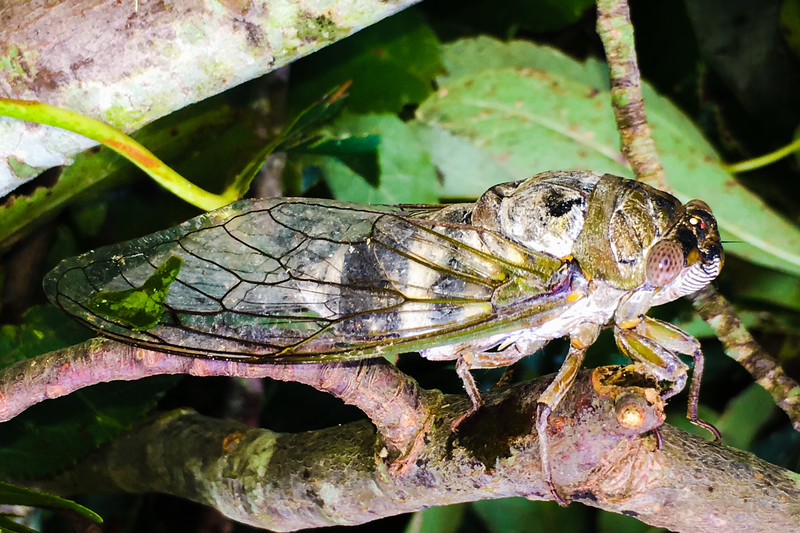 Northern Dusk Singing Cicada (Neotibicen auletes)