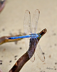Blue Dragonfly 1213
