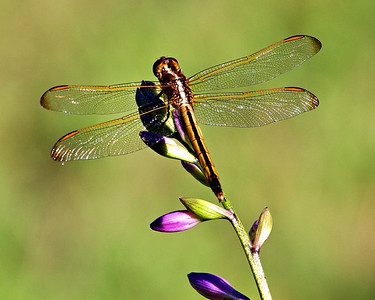 dragonfly purple