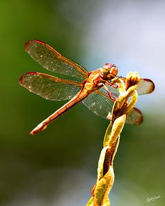 Dragonfly Orange 1