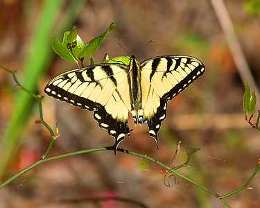 Eastern Tiger Swallowtail Butterfly - Female
